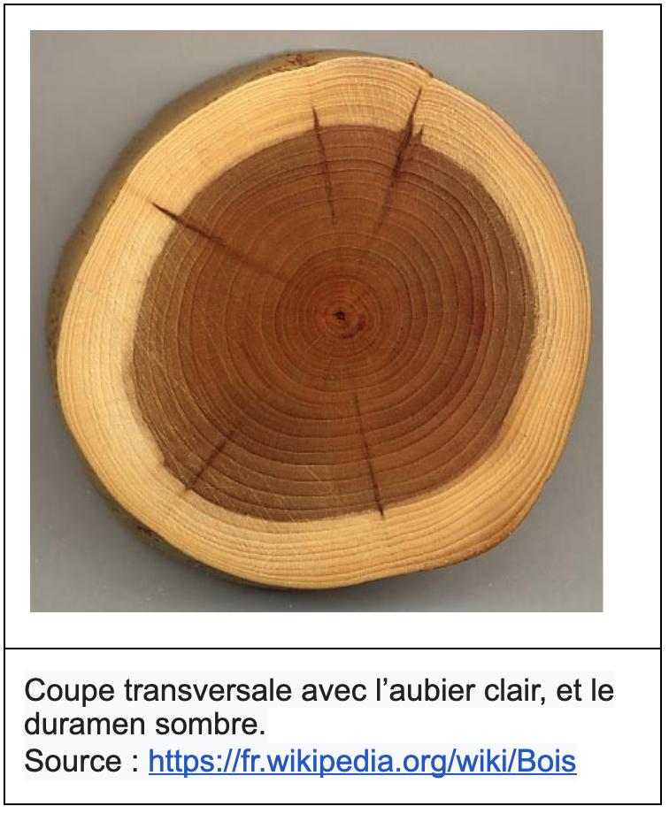 Coupe transversale tronc avec l'aubier clair, et le duramen sombre.